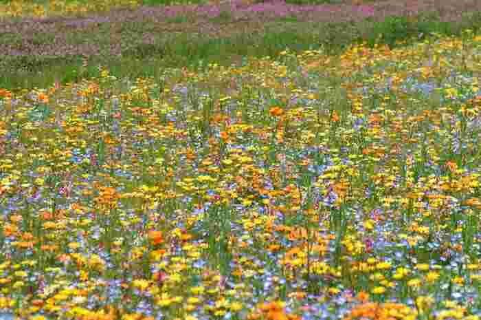 「花とロマンの里」をキャッチフレーズとした松崎町では、3月から5月頃にかけて「田んぼをつかった花畑」イベントが開催されます。約6万2千平方メートルに及ぶ広大な田んぼに色とりどりの花々が競って咲く様子は、まるで大地に絨毯を敷き詰めたようです。