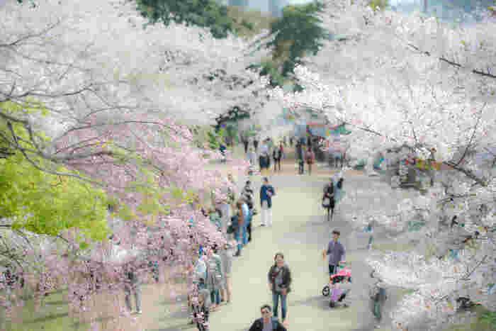 """明治14年(1881年)に開園した「西公園」は、県内で唯一""""さくら名所100選""""に選ばれた福岡を代表する桜の名所です。市内のほぼ真ん中に位置する公園で、地下鉄「大濠公園駅」から徒歩15分で行くことができます。"""