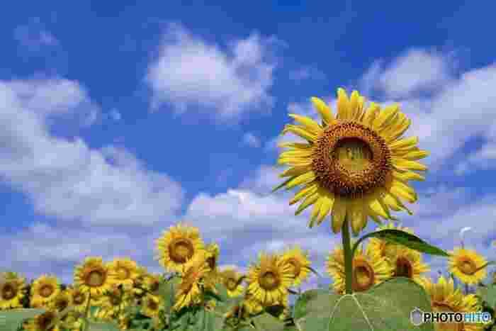 ひまわりを撮る時、晴れていたらぜひ青空と一緒に撮影してみてください。青空や夏の雲とのコントラストが美しく、最高の夏の一枚になるはずです。