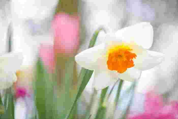 1月の花:水仙