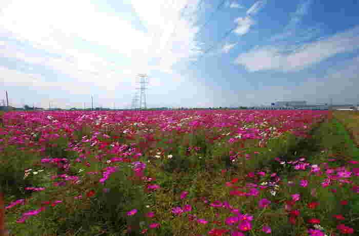 関越自動車道「東松山IC」から約7キロメートルの位置にある「道の駅いちごの里よしみ」の近くには、約7ヘクタールの敷地面積を誇るコスモス畑があります。毎年10月初旬から下旬にかけて約650万本ものコスモスが次々と開花し、吉見町の秋に彩りを与えています。