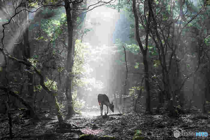 広大な敷地を誇る奈良公園は、都市域に位置しながら豊かな自然が広がっています。奈良公園内には、特別天然記念物に指定されている「春日山原生林」が生い茂っており、ここでは気軽に森林浴を楽しむことができます。
