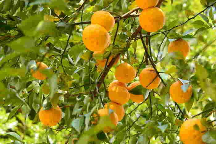 柚子は、日本の気候にとても合っている果物です。ほどんど手入れもしてなくてもどんどん実が成り、農薬もあまり必要ないので、よく洗えば皮も安心して食べられます。お料理の幅が広がる柚子のレシピを集めました。