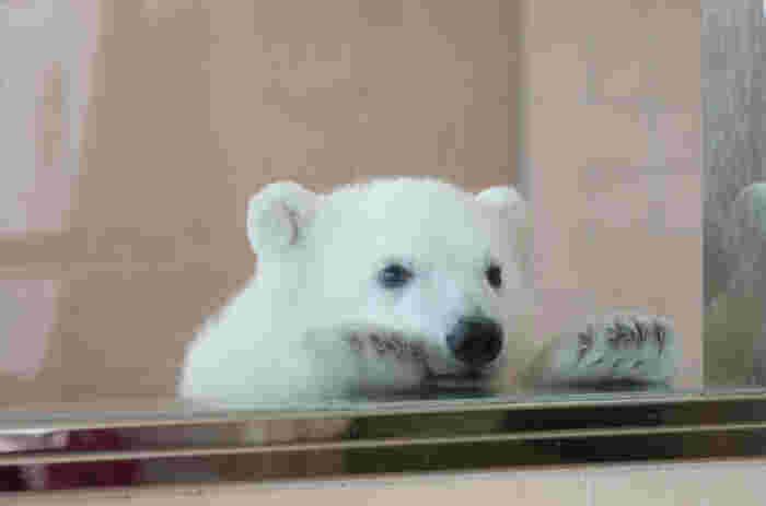 希少動物の繁殖を得意としているアドベンチャーワールドでは、ホッキョクグマの繁殖も成功しています。ぬいぐるみのように可愛らしいホッキョクグマの赤ちゃんは、動くテディベアのようです。