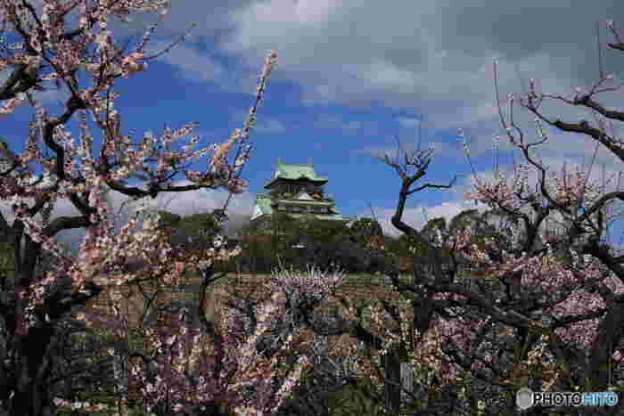 大阪城公園は、大阪府内でも指折りの梅の名所としても有名です。公園内には梅林があり、毎年初春になると梅が見ごろを迎えます。