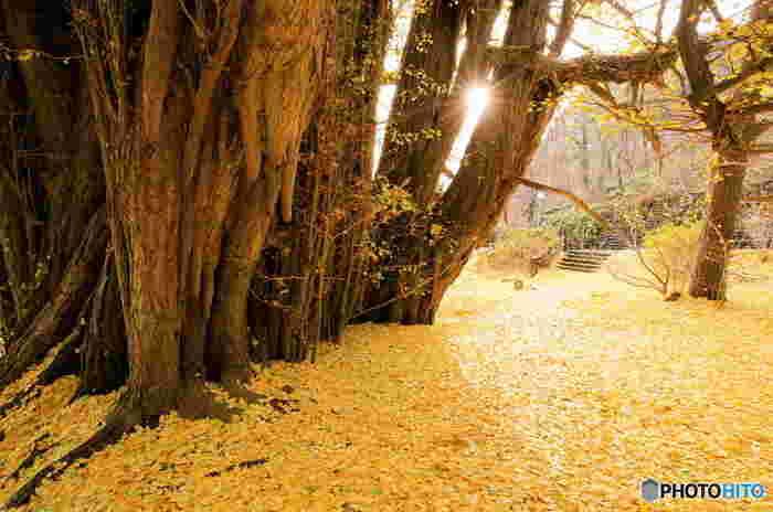 落葉すると、見事なイチョウのじゅうたんが出現します。朝日や夕焼けを狙って訪れると、黄金の世界に入り込むことができるかも。