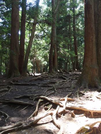 このあたりは岩盤が硬いので、地中に潜れない木の根が、網目のように地を這っています。 「牛若丸(源義経の幼名)」は、山の精霊である「天狗」と、ここで武術の稽古をしたのだそう。  木が傷むので、根を踏まないように気をつけて進みましょう。