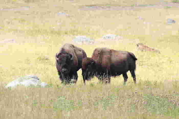 アメリカ合衆国アイダホ州、モンタナ州、ワイオミング州にまたがるイエローストーン国立公園は、世界で初めて国立公園に指定された場所です。野性動物の宝庫でもあるイエローストーン国立公園では、バッファロー、グリズリー、オオカミといった大型の動物たちが生息しています。