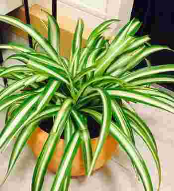暑さ寒さ、そして乾燥に非常に強く丈夫な性質で、初心者でも比較的育てやすいと人気の「オリヅルラン」。日当たりの少ない場所でも育ちやすいことから観葉植物として室内で育てるのにもピッタリです。