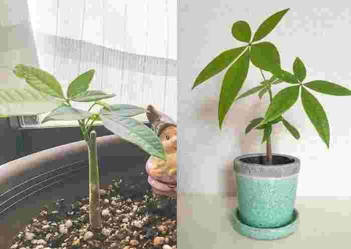 パキラを増やす一番簡単な方法は、挿し木です。葉の色が良い、元気な枝を使います。枝は、10~20cmくらいにカット。葉は2~3枚を残して、余分なものは落とします。