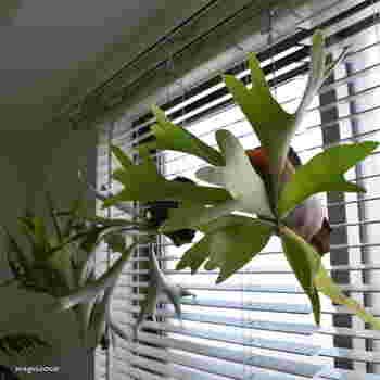 人気の「コウモリラン」を「S字フック」を使ってカーテンレールに吊るして。窓辺の明るい日差しが好きな植物におすすめです。 ※カーテンレールに吊るす際は、重量に気をつけてくださいね。