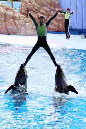 ショーに参加するのはイルカたち動物だけではありません。拍手喝采の中、調教師を乗せたイルカがプールの中を猛スピードで泳ぎまわる様子は、迫力満点です。