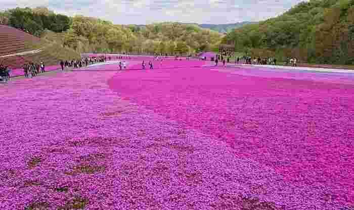 2006年に開園された市貝町芝ざくら公園は、芳那の水晶湖採掘時の残土の上に造られた約8ヘクタールの敷地面積の公園です。なだらかな傾斜地となっている公園の約2.4ヘクタールに芝桜が植栽されており、その規模は本州最大級を誇ります。