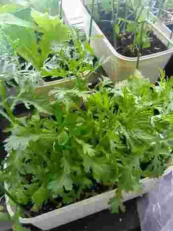 今回は、ベランダ菜園をする際に知っておくと役立つ、種や土の種類や、今から育てられる野菜など幅広くご紹介します。