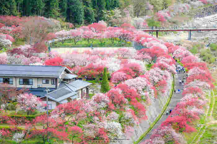 昼神温泉から車で約15分のところにある「月川(つきかわ)温泉」は、阿智村内でも特に花桃がきれいな花桃の里に佇む一軒宿の温泉です。温泉宿「月川(げっせん)」さんを囲むように、たくさんの花桃の木が並んでいます。