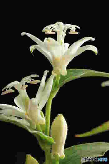 斑点のない白ホトトギスは、日本固有の品種。  山ガールさんなら、トレッキングの際、崖や岩場で出会い、エレガントな姿に見とれたことがあるかも。花言葉の由来は、晩夏から晩秋まで、数カ月にわたって次つぎに咲き続けることが理由とされています。