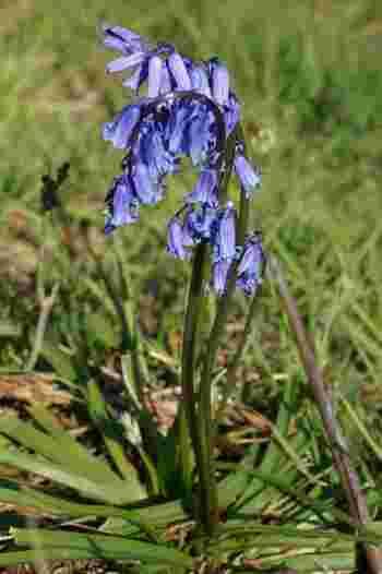 水色・紫・青など、それぞれの花が微細に違った色構成で、幻想的な青を作り出すブルーベル。
