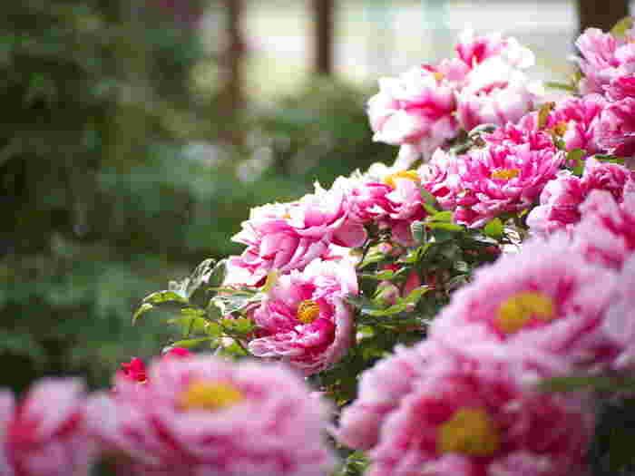牡丹の花が咲く頃。牡丹は日本には遣唐使によってもたらされたともいわれ「富貴草」、「百花の王」などの別名があります。