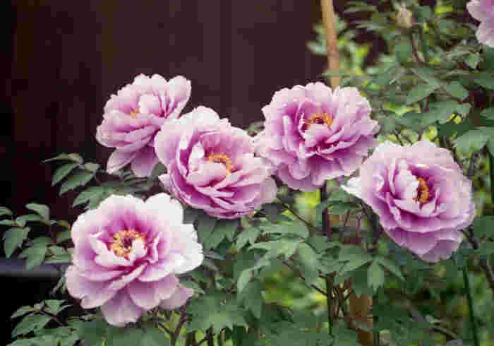 當麻寺は「花の寺」としても知られています。境内の西南院は、関西花の寺第二十一番霊場でもあり、5月から7月にかけて牡丹やシャクナゲが大輪の花を咲かせます。