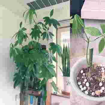 枝を、新しくて清潔な、栄養(肥料)分の入っていない土にしっかりと挿したら、最初の水はタップリと与えます。あとは普段のパキラと同じです。挿し木も5~6月頃に行うのがおすすめ。