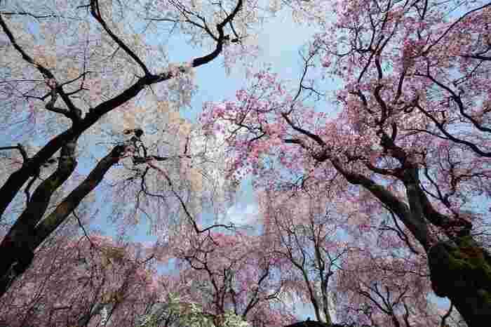 注目度上昇中の桜の名所「原谷苑」。個人所有の土地のため、穴場として知る人ぞ知る名所でしたが、インターネットの普及に合わせて人気に火がついたとのこと。「桜のジャングル」と形容されるほど、どこを見ても桜・桜・桜!満開の頃には視界を遮るほど圧巻の景色を望むことができます。