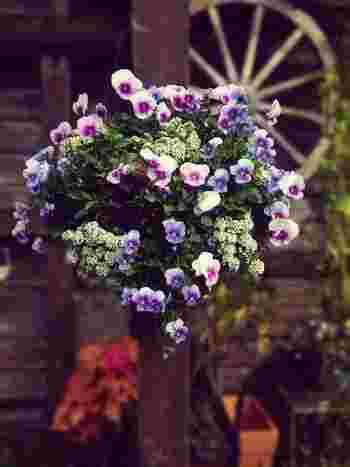 現在、パンジーとビオラを見分けるポイントは、花の直径が5cm以上あるものをパンジー、それ以下のものをビオラと分けるのが一般的とされています。  小さめの花輪は、ナチュラルなイメージのハンギングに最適。スイートアリッサムとの組み合わせです。