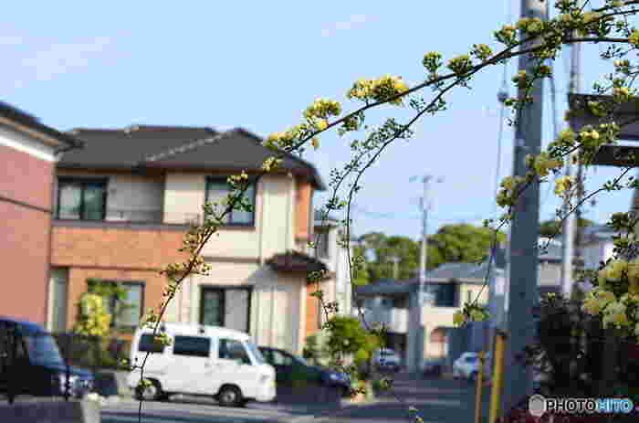 生垣にモッコウバラを這わせると家族はもちろん、家の前を通りかかる人の気持ちまでも癒してくれますね。