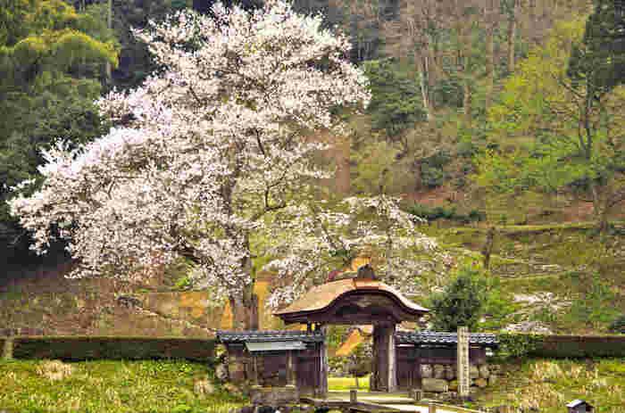 一乗谷の一帯は、例年4月中旬頃になると桜が咲き誇ります。遺跡のシンボルとも言える「唐門」も、満開の桜を背負ってさらに風情豊かに。桜の時期に合わせて訪れるのもおすすめですよ。