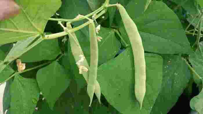 「いんげん(Green Beans)」は世界最古の豆ともいわれ、各地の遺跡からも出土するほど長い歴史のある食べ物。枝豆などと違ってさやごと食することができるのが特徴。夏から秋口にかけて長く収穫され、手に入りやすいのもうれしいですね。