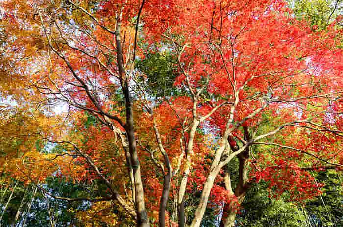 広大な敷地を誇る竜田公園では、モミジ、桜といった落葉樹の樹々が植樹されています。晩秋になると、樹々の葉は、深紅、朱色、オレンジ色に染まり、常緑樹の緑と美しい競演を楽しむことができます。