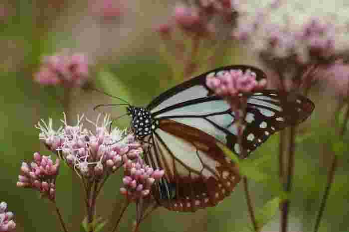 秋の七草のひとつ、フジバカマの花。蜜は、千キロを旅する蝶・アサギマダラの大好物です。