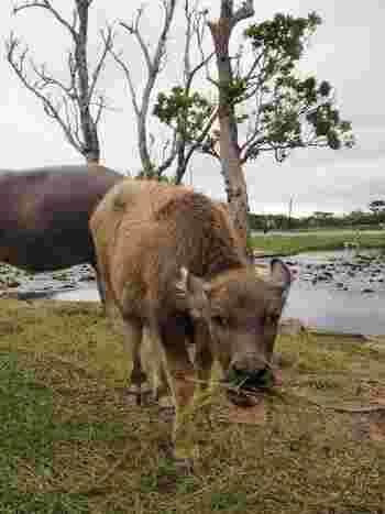 なんとこのホテルでは水牛が飼育されているんです。他にもヤギや陸ガメ、アヒルとも触れ合える「動物ふれあい広場」もあるので、お子様も喜んでくれそうです。