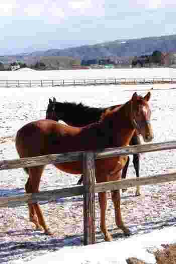 北海道や長野県の白馬などでは、広々とした雪原を馬に乗ってトレッキングすることができます。またがっているだけで、馬の体温が伝わって温かいそうですよ。動物とのふれあいと、冬の大自然との出会い。ぜひ体験してみたいですね。