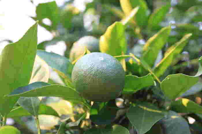 みかんに含まれているシネフリンには代謝を高めたり脂肪の吸収を阻害する効果があるんだとか。他のフルーツにはあまりない成分で、特に青いみかんに含まれているそうです。