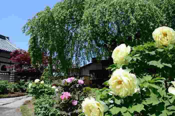 本満寺境内の本堂前の中庭、大枝垂れ桜の周囲には、たくさんの牡丹が栽培されています。ピンク、黄色、白など色とりどりに大輪の花を咲かせる牡丹は、和の情緒が漂う寺院建築物と中庭の美しさを引き立てています。