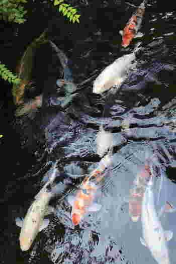 悠然と流れるいがわこみちの水路には、色鮮やかな鯉たちが優雅に泳いでおり、絵画のような景色の美しさを引き立てています。