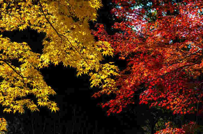 四季折々で美しい景色を見せてくれる観心寺ですが、晩秋の紅葉シーズンの美しさは格別です。深紅に染まったモミジと鮮やかな黄色の葉をつけた樹々が見事に折り重なる様は、まるで錦繡に纏われた一反の着物の柄ような美しさです。