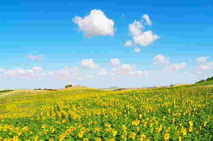 青い空と黄色いひまわり…本当に実際にある風景?と疑ってしまうほどの美しさです。こちらはスペインのアンダルシア地方。例年6月に一番の見頃を迎えます♪ベストシーズンはその年ごとに若干異なるため、事前のチェックを忘れずに…◎