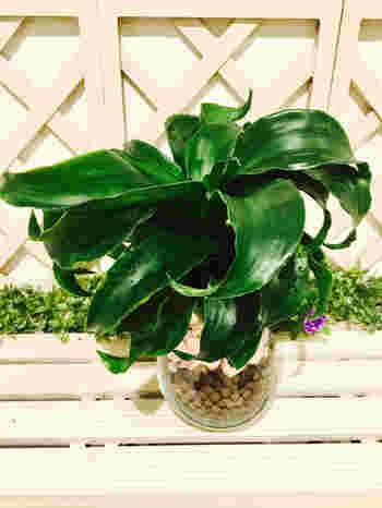 とても珍しいドラセナ・トルネードという植物です。悠々としたゴージャスな葉が、たおやかで素敵ですね!