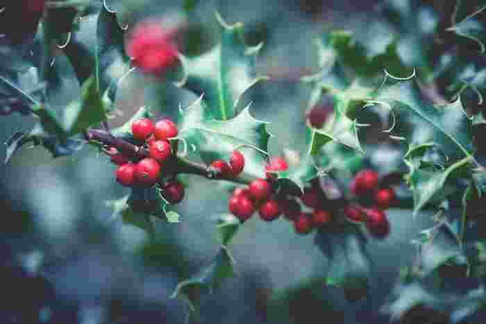 クリスマスモチーフの代名詞とも言えるヒイラギ。トゲトゲとした葉の形が特徴的です。リースのアクセント使いにもおすすめです。