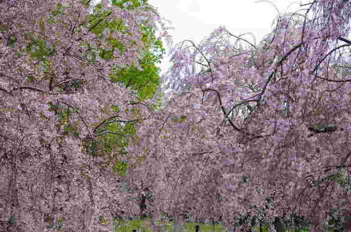 満開に花を咲かせた枝垂れ桜の下に立ってみると、まるで春そのものが舞い降りてきたかのような気分を味わうことができます。