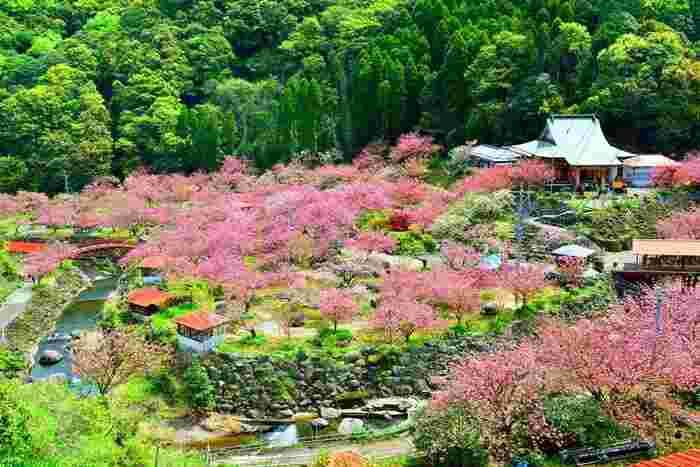 """大分市廻栖野の山の谷間にある「一心寺」は、桜の時期になると多くの観光客が訪れる大分の桜の名所です。そのお目当ては、""""桜の雲海""""と称される桜が作りだす美しい風景。山の濃い緑とヤエザクラのピンク色のコントラスが美しく、まさにピンクの雲海のように見えますね。"""