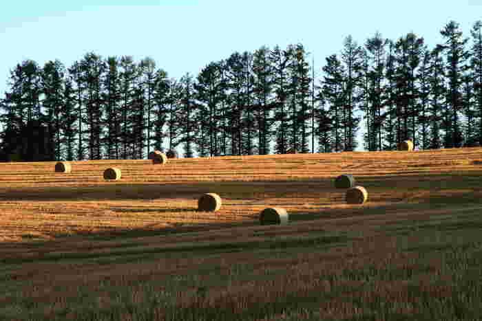 緑あふれる丘と木の光景も素敵ですが、麦稈(ばっかん)ロールが転がる光景もポストカードになりそうなくらいに趣があります。
