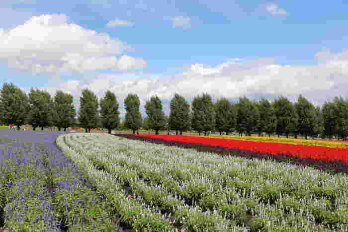 ファーム富田では、ラベンダーだけでなく、色とりどりの花々の観賞を楽しむこともできます。