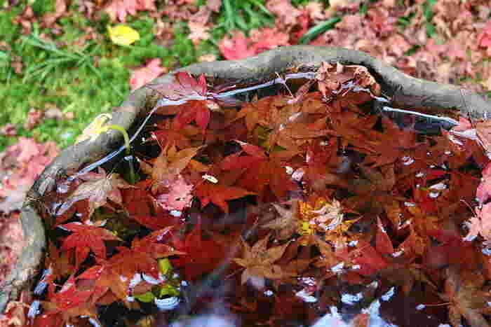 石山寺では散りモミジの美しさも必見です。手水鉢に舞い落ちた深紅のモミジは、まるでクリスタルオブジェのような美しさです。