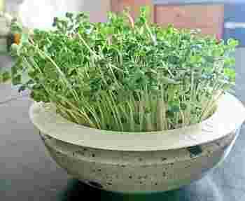 100円均一のシンクのゴミキャッチャー浅型タイプを使って育てたブロッコリーのスプラウト。 こちらを水を入れたお皿にすぽっとセットします。ざるごと持ち上げられるから水換えしやすいですよ。