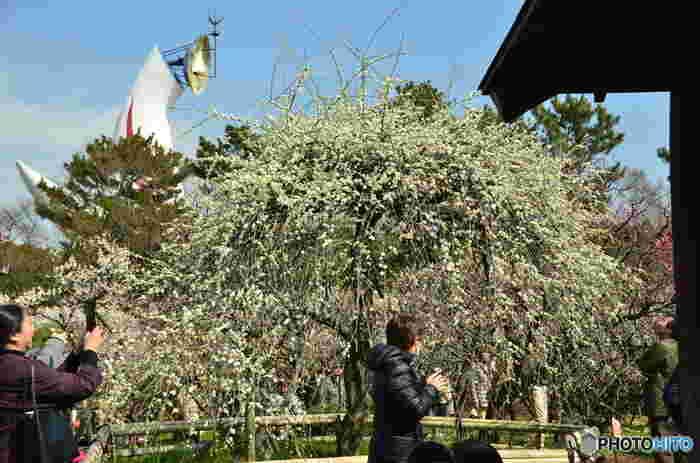 万博記念公園の梅林には、紅梅、白梅をはじめとし、黄金梅、枝垂れ梅などの梅が咲き誇ります。