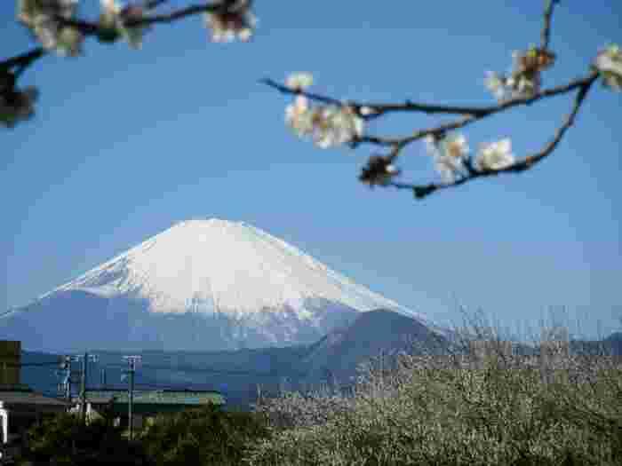 神奈川にある「曽我梅林」では、富士山と梅の花の絶景を一緒に楽しむことができます。「曽我別所梅まつり」開催期間中は、私有地の梅林の畑に入ることができ、食堂や売店なども営業しています。