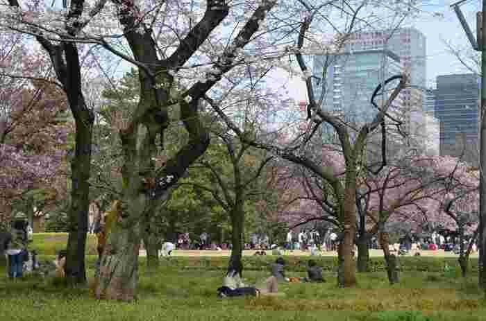 また桜の頃は、朝晩の寒暖差も大きく、日が傾くと冷え込みます。苑内の緑もまだ早く、花見には絶好でも、豊かな自然を満喫出来るほどの季節ではありません。【『ソメイヨシノ』が見頃の4月初旬の苑内】