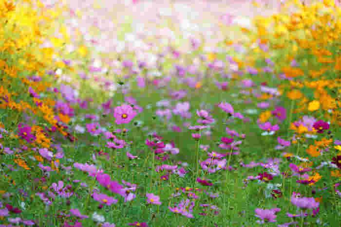 メキシコ原産、キク科コスモス属の総称。18世紀後半にスペインに渡り、マドリッド王室植物園の園長だったホセ・カバリニス神父によって、kosmos(ギリシャ語で「秩序」「調和」などを意味す)と命名されました。日本へは、明治中頃に伝わり、秋の季語としても知られます。